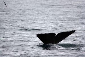 Whalewatching in Kaikoura